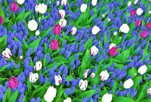 planerium-blue-white-flowers