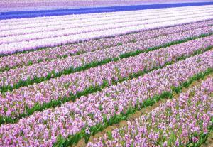 planerium-flowers-field-2