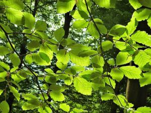 planerium-green-leafs