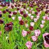 planerium-purple-pink-tulip-1