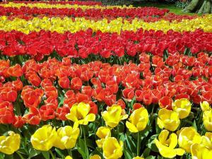 planerium-red-yellow-flowers