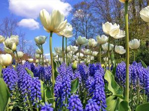 planerium-white-blue-flowers