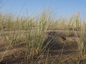 planerium-wildgrass-beach-dune-300x225