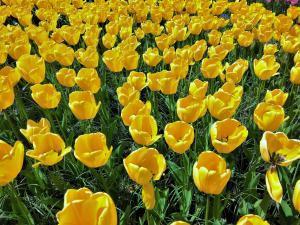 planerium-yellow-tulip-1